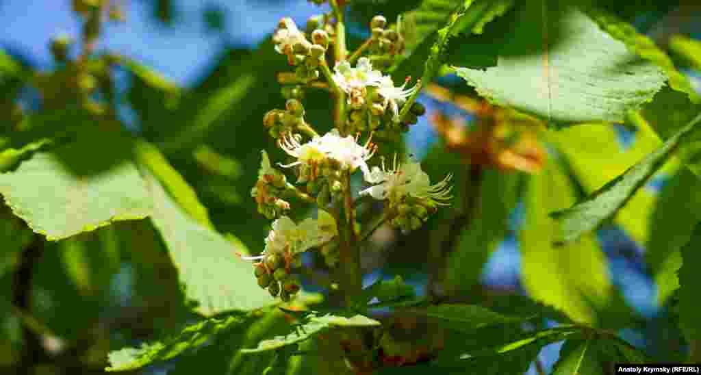 Каштаны тоже вступают в пору цветения