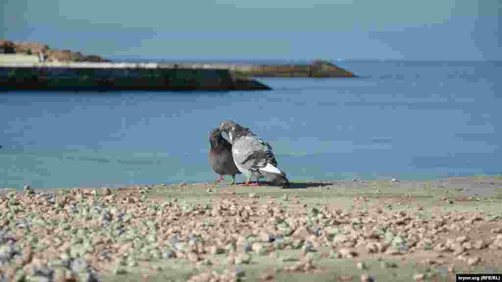 Голуби «целуются» на пляже, не обращая внимания на людей. Февральские мотивы севастопольского парка Победы – в фотогалерее
