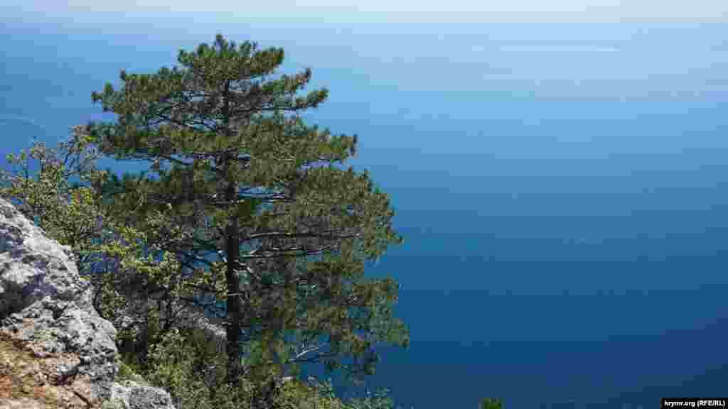 Тільки в горах мису Айя і в Новому Світі росте сосна Станкевича