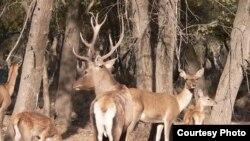 Прежде чем убить оленя, европейский охотник должен выяснить его пол и возраст