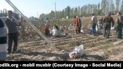 Жители Куштепинского района приклеивают уже собранный хлопок обратно к хлопчатнику