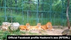 Лъвовете в хасковския зоопарк