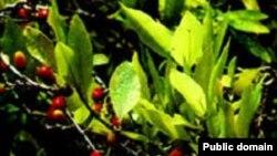 Boliviya koka istehsalına görə dünyada Kolumbiya və Perudan sonra üçüncüdür