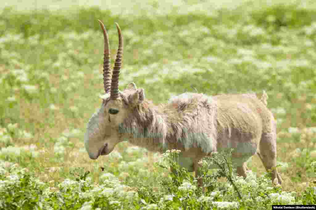But a continuous threat is driven largely by Chinese demand for the male saiga's antlers.
