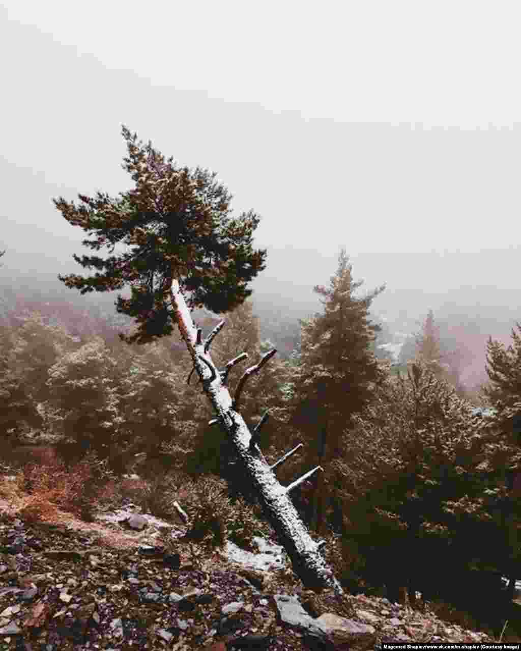 "A pine under a dusting of fresh snow. Shapiev explains the origins of his love for capturing such scenes during a telephone call with RFE/RL. ""I grew up in the mountains,"" he says, ""and as a kid I used to go on little adventures and sketch what I saw."""