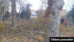 Вырубка чинар в Пахтаабадском районе Андижанской области.