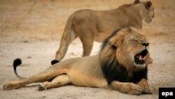 سسیل در تصویری که پارک زیمباوه آن را در اختیار رسانهها گذاشته است