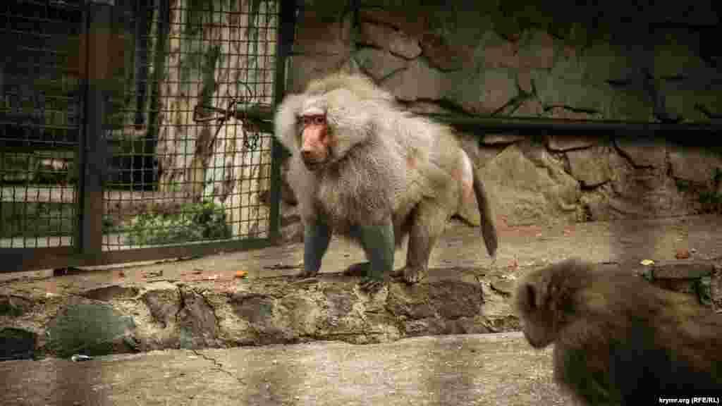 Павиан. У этих обезьян разнообразный рацион: от фруктов и насекомых – до моллюсков, рыб и даже зайцев