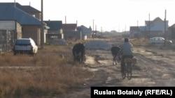 Мырзабай Атығай ауыл көшесінде екі сиырын арқандап, оларды велосипедпен бағып жүр. Ақмола облысы Целиноград ауданы Талапкер ауыл, 30 қыркүйек 2015 жыл.