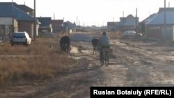 Житель села Талапкер Мырзабай Атыгай пасет двух своих коров на улице на окраине села. 30 сентября 2015 года.