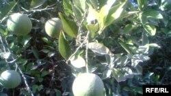 شجرة ربتقال في بعقوبة