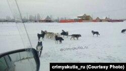 Свора собак в якутском поселке Намцы