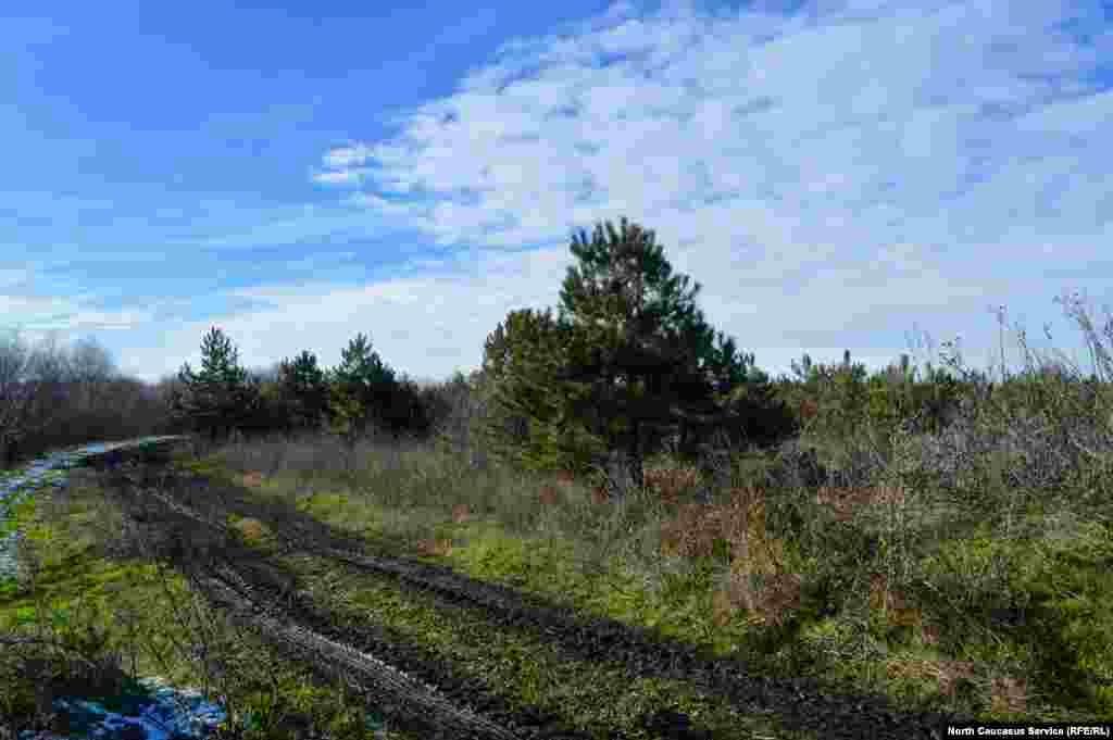 В окрестностях КавМинВод растут посаженные человеком хвойные леса – чтобы деревьям хватало места и света, лишние убирают