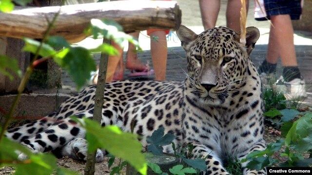 پلنگ ایرانی در باغوحشی در جمهوری چک