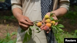 A Pakistani fruit farmer shows apricots that have ripened nearly a month ahead of schedule in the town of Mardan.