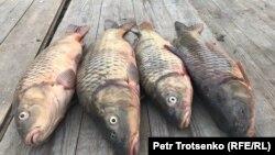 Рыба частиковых пород, пойманная в Урале близ Атырау.