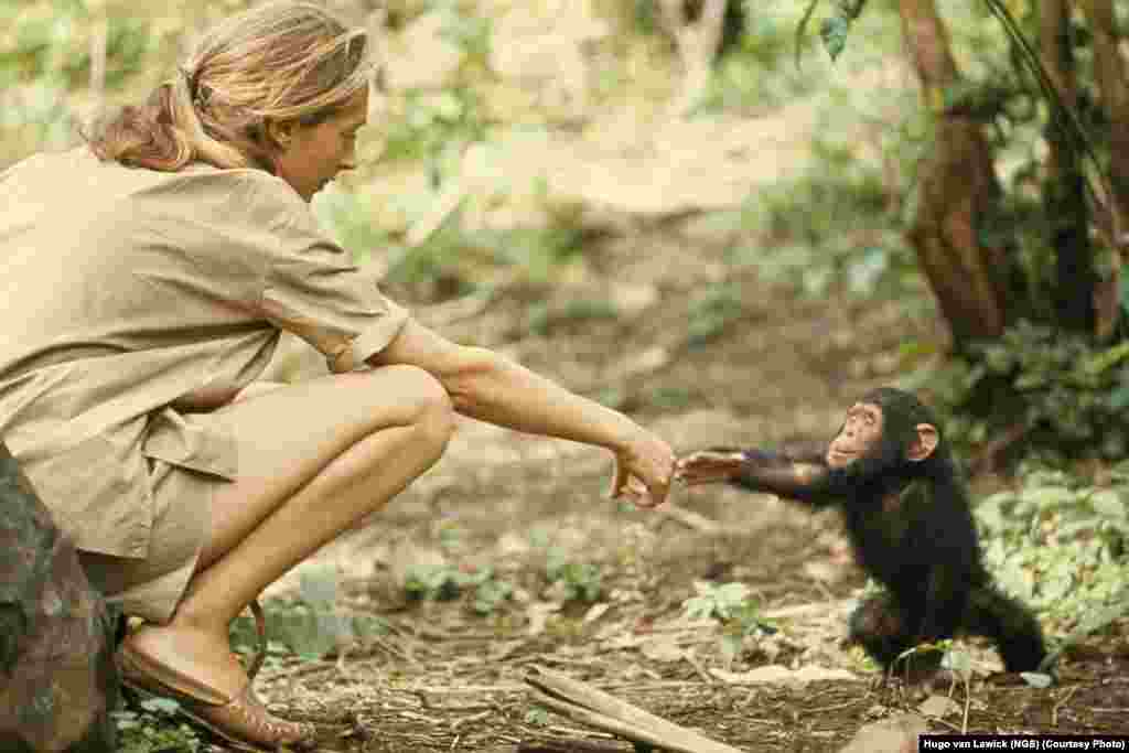 "A touching moment between primatologist and ""National Geographic"" grantee Jane Goodall and young chimpanzee Flint at Tanzania's Gombe Stream Reserve in 1964."