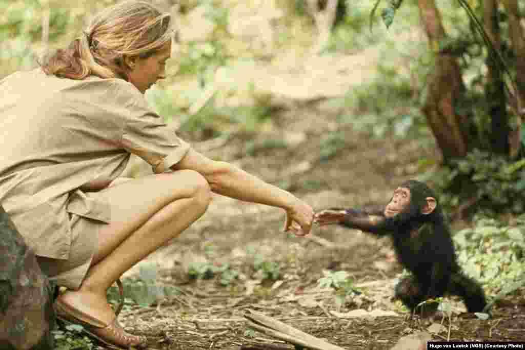 Jane Goodall i mada čimpanza Flint u Tanzaniji, 1964.