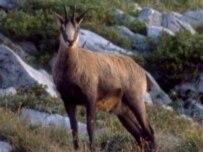 A chamois (GNU file photo)