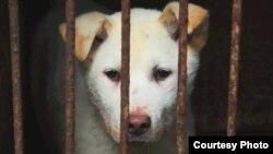 Одна из собак, ждущих страшной смерти. Город Юлинь, южный Китай, 22 июня 2015 года