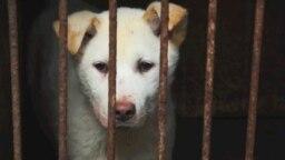 Одна из собак, ждущих страшной смерти. Город Юйлинь, южный Китай