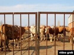 Azərbaycana gətirilən cins inəklərdən 100 başı tələf olub