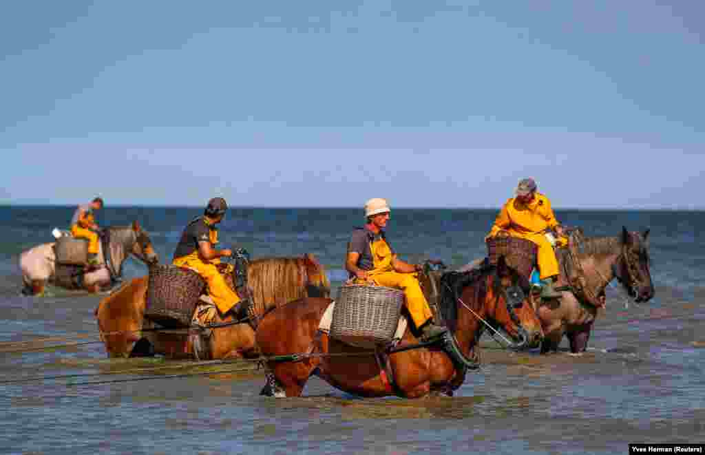 Belgian fishermen ride horses to haul nets out in the sea to catch shrimp during low tide in the coastal town of Oostduinkerke. (Reuters/Yves Herman)
