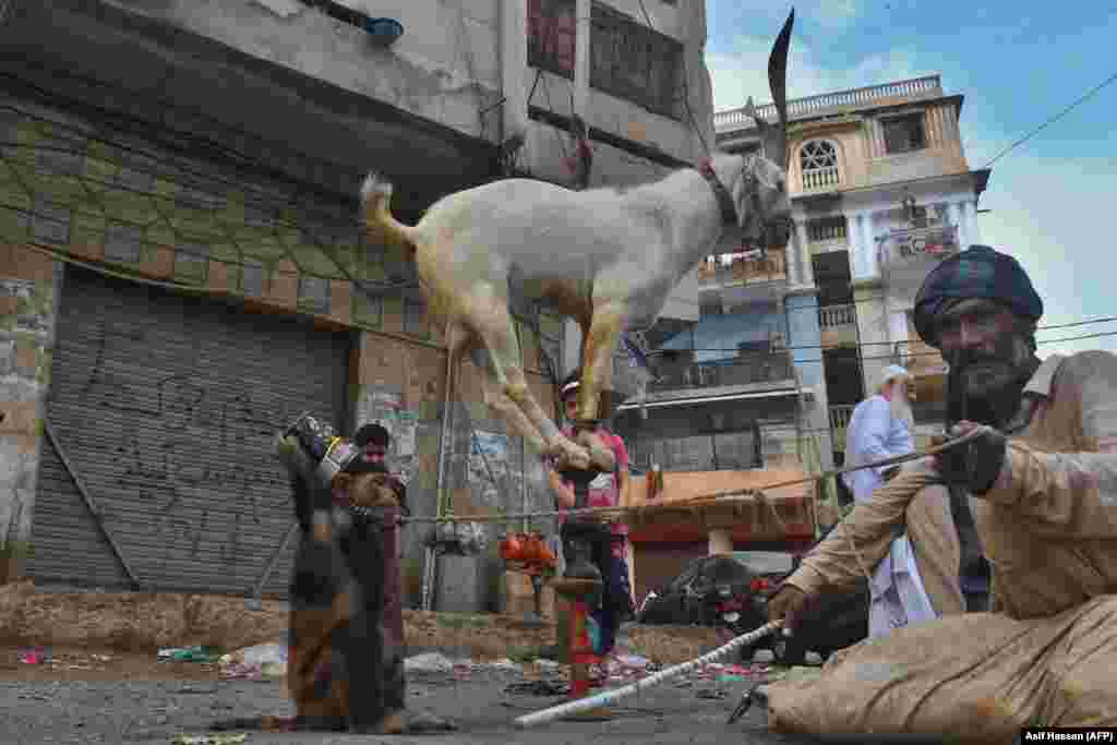 An animal handler sits next to a monkey while a goat balances over a stick for onlookers in Karachi after the Pakistani government eased the nationwide lockdown imposed as a preventive measure against the coronavirus on May 11. (AFP/Asif Hassan)
