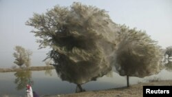 Hörümçək torlarıyla örtülü ağaclar, Pakistan, 2011
