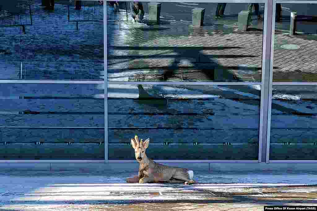 A wounded deer outside Kazan International Airport in Russia's Tatarstan region on April 7. It is not clear how the animal was hurt. The deer reportedly was later taken to a rehabilitation center.
