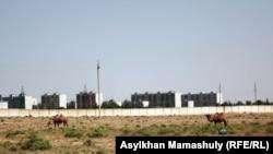 Верблюды на фоне жилых домов в поселке Акай близ города Байконур. 14 июля 2013 года.