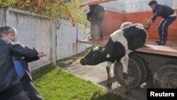 Көліктен сиыр түсіріп жатқан адамдар. Қазақстан, 26 қазан 2012 жыл. (Көрнекі сурет)