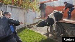 Мужчины сгружают корову на скотном рынке. Алматы, 26 октября 2012 года.