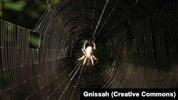 یک عنکبون گردباف از گونه موسوم به «عنکبوی باغی اروپایی»