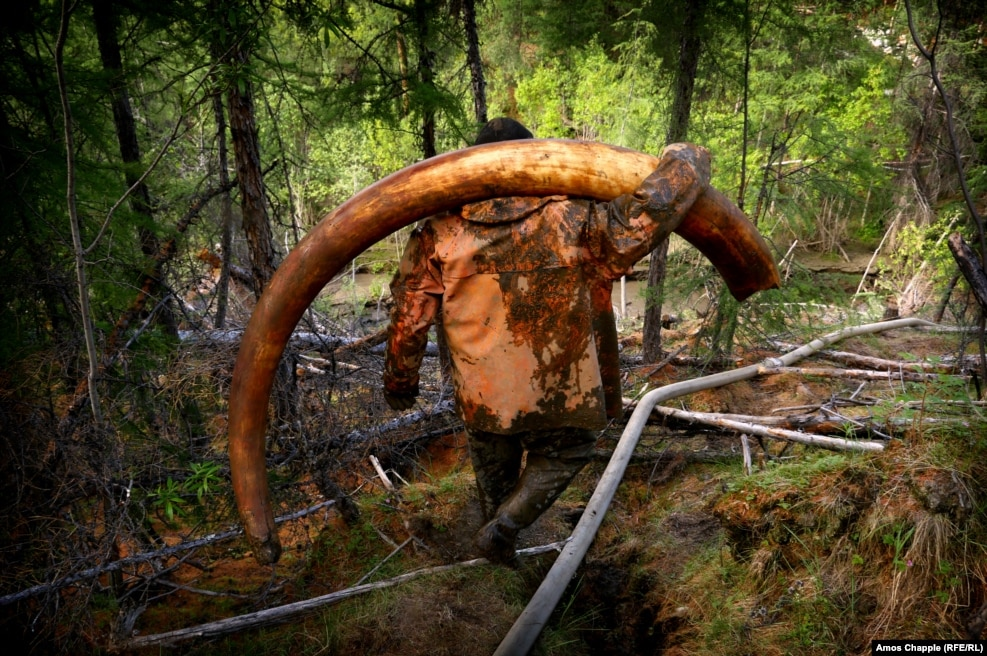 """The success of my trip depended on getting a picture of a tusk, so most days I was hiking between the mining sites, trying to pick up the latest news from the men. Finally, I heard a tusk had just been found and was being extracted. I ran through the forest toward this tunnel where two tuskers worked. I crawled a little way in and could hear voices echoing down the tunnel, then I saw the headlamps and this beautiful tusk being slithered through the mud toward the light. The men wiped it clean it with grass. Then, as they carried it toward their boat I was running around them shooting as much as I could. I was very lucky to see it -- between it coming out of the ground and being whisked away by boat, only about 20 minutes passed. I'll never forget the moment, the tusk was so well preserved you could smell the mammoth."" -- the author, Amos Chapple, describing his experiences photographing men illegally extracting mammoth tusks from Siberia's permafrost."