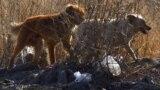 Беспризорные собаки на окраине Бишкека.