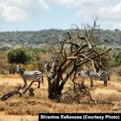Зэбры ў Кеніі