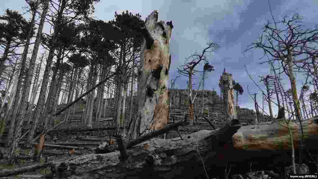 Пострадавшие от лесных пожаров деревья на территории Ялтинского горно-лесного природного заповедника