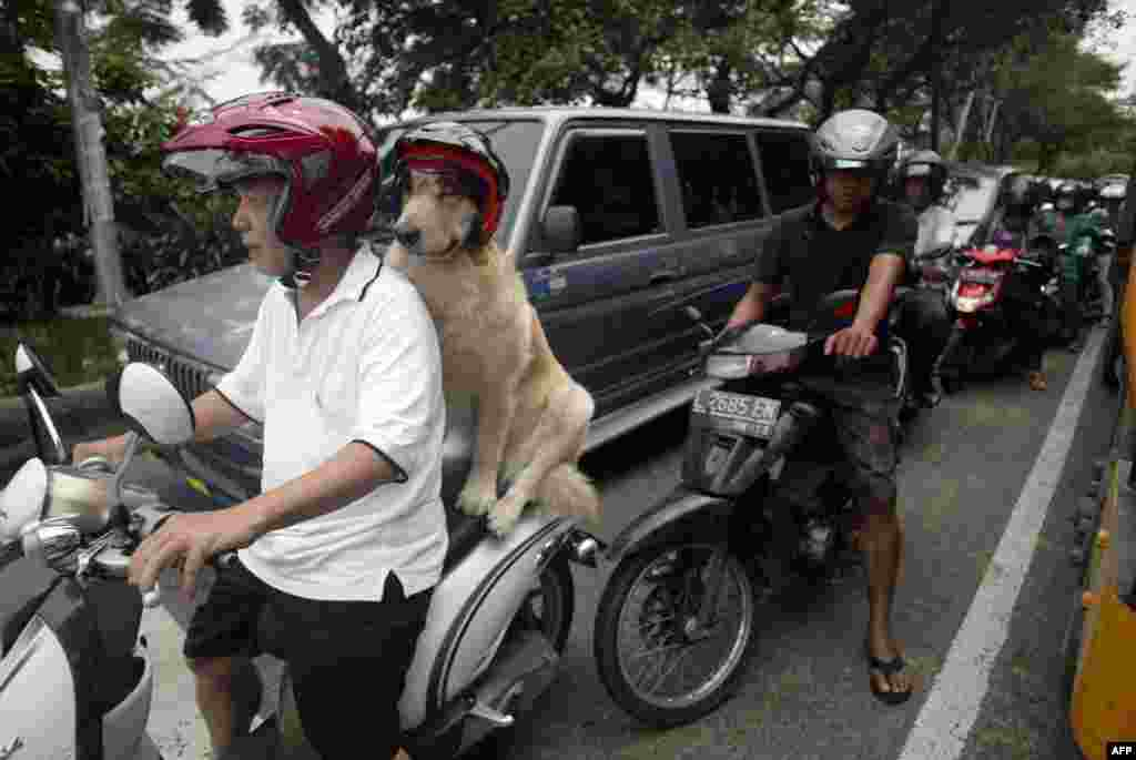 Handoko Njotokusumo and his dog Ace maneuver through traffic during a weekend ride on a motorcycle in Surabaya on eastern Java island in Indonesia. Handoko, 57, is a retired businessman and regularly takes Ace, a golden retriever, for a ride around the city. (AFP/Juni Kriswanto)