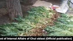 Обнаруженные наркосодержащие растения.