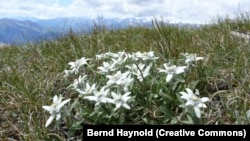 Floarea alpină Edelweiss