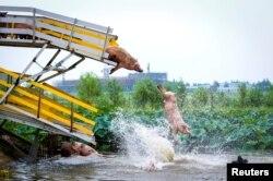 Свиноферма в Китае