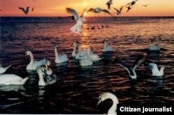 Лебеди в Каспийском море. Автор фото – Айгерим Куанышбеккызы.