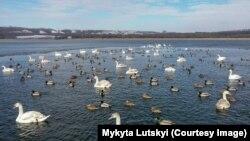 Лебеді та качки на озері у заповеднику «Клебан Бик», що на Донеччині. Лютий 2020 року