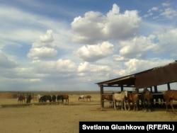 Табун лошадей семьи Есенбаевых. Село Корганбай, 8 июля 2014 года.