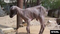 Этот козлёнок родился в Атырауской области без единого волоска на своей шкуре.