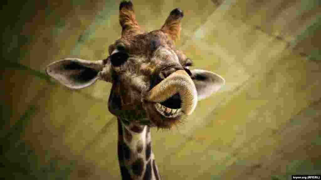 Жираф – самое высокое животное на планете