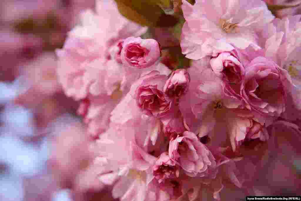 В Ужгороді цими днями розпочали квітнути цілі вулиці з японськими вишнями – сакурами. Найстаріші з них були посаджені у 1924 році