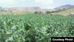 Миллионы афганцев по-прежнему зависят от опиумной экономики