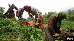 Workers on a tea farm in the north of Iran